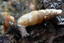 Normal (left) and albinistic (right) forms of the land snail Pseudofusulus varians, note that in the albino both the body and the shell are lacking the normal pigmentation.