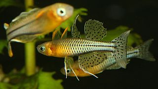Spotted blue-eye species of fish