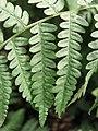 Pteridium aquilinum Orlica pospolita 2007-08-11 02.jpg