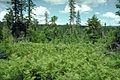 Pteridium aquilinum subsp pubescens 0976092.jpg