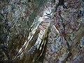 Pterois volitans.403 - Aquarium Finisterrae.jpg
