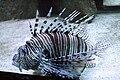 Pterois volitans 1.jpg