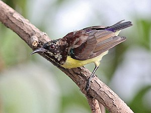 Purple-rumped sunbird - In moult