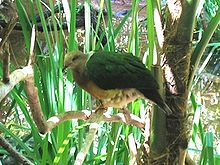 Purple-Tailed Imperial Pigeon.jpg
