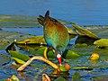 Purple Gallinule - Porphyrio martinica, Everglades National Park, Homestead, Florida (39451653195).jpg