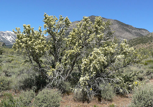 Anchor plant (Colletia paradoxa) | Uruguay's wildlife & amp; Natural sanctuaries / Sanctuaries of Flora and Fauna of Uruguay