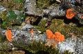 Pycnoporus cinnabarinus (Cinnabar Bracket, D= Zinnobertramete, NL= Vermiljoenhoutzwam) at Planken Wambuis Ede-Schaarsbergen - panoramio.jpg