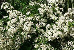 Pyracantha koidzumii Santa Cruz blooming.jpg