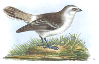 White-rumped snowfinch - An 1876 illustration