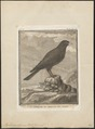 Pyrrhocorax alpinus - 1700-1880 - Print - Iconographia Zoologica - Special Collections University of Amsterdam - UBA01 IZ15700091.tif