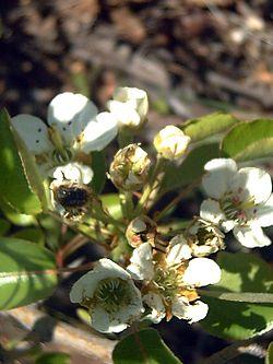 Pyrus bourgaeana – Wikipédia, a enciclopédia livre