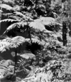 Queensland State Archives 1188 Ferntree Gully National Park c 1930.png