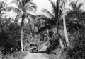 Queensland State Archives 1375 Palms on the Daintree Road c 1935.png