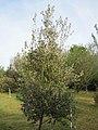 Quercus ilex BG.jpg