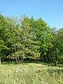 Quercus pubescens sl6.jpg