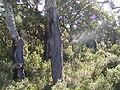 Quercus suber4.JPG
