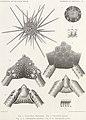 Résultats du voyage du S.Y. Belgica en 1897-1898-1899. Zoologie - Échinides et ophiures (1902) planche 1.jpg