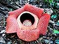 Rafflesia arnoldi - panoramio.jpg