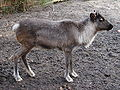Rangifer tarandus (Wroclaw zoo) - young - body.JPG