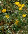 Ranunculus carinthiacus IP0704075.jpg