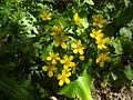 Ranunculus cortusifolius, la Morgallana en Anaga.jpg