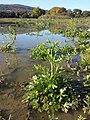 Ranunculus sceleratus sl24.jpg
