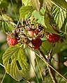 Raspberry (Rubus idaeus) - Oslo, Norway 2020-08-26 (01).jpg