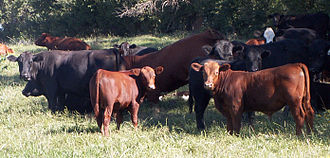 Angus cattle - Mixed herd of Black and Red Angus