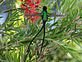 Red-billed Streamertail male RWD5.jpg