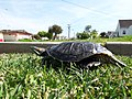 Red-eared slider turtle (122436675).jpg