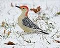 Red Bellied Woodpecker In Snow (192878751).jpeg
