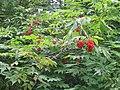 Red Elderberries - geograph.org.uk - 505059.jpg