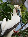 Red Footed Boobies (5295760704).jpg