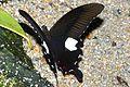 Red Helen (Papilio helenus helenus) (8731653678).jpg