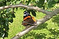 Red admiral (NH266) (15864598706).jpg