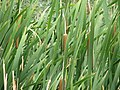 Reeds at the Swan Lake Nature Study Area.jpg