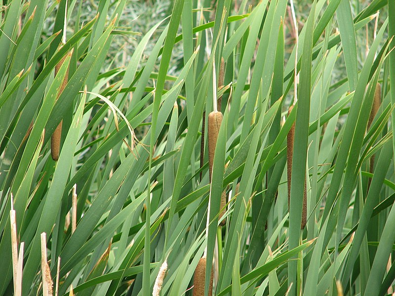File:Reeds at the Swan Lake Nature Study  Area.jpg