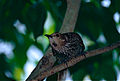 Regent Bowerbird (Sericulus chrysocephalus) female (9876673044).jpg