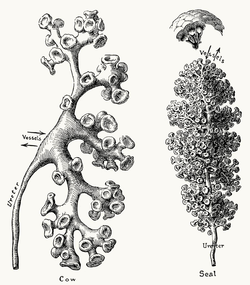Renal pelves and calices.png