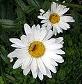 Rhagonycha fulva-20090711-01.jpeg