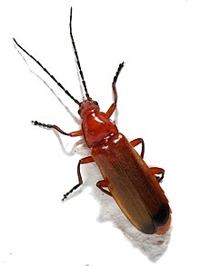 Common red soldier beetle - Wikipedia