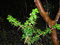 Rhaphithamnus spinosus-rama.JPG