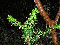 Rhaphithamnus spinosus-rama