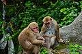 Rhesus Macaque 03.jpg