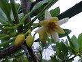Rhizophora mucronata.JPG