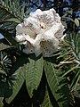 Rhododendron30.jpg