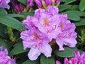 Rhododendron 03.JPG