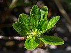 Rhododendron hirsutum Blätter Mitterbach 20160708.jpg