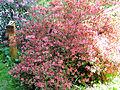 Rhododendron kaempferi Planch in Arboretum Rogow - 01.jpg