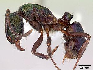 Präparierte Rhytidoponera metallica -Arbeiterin